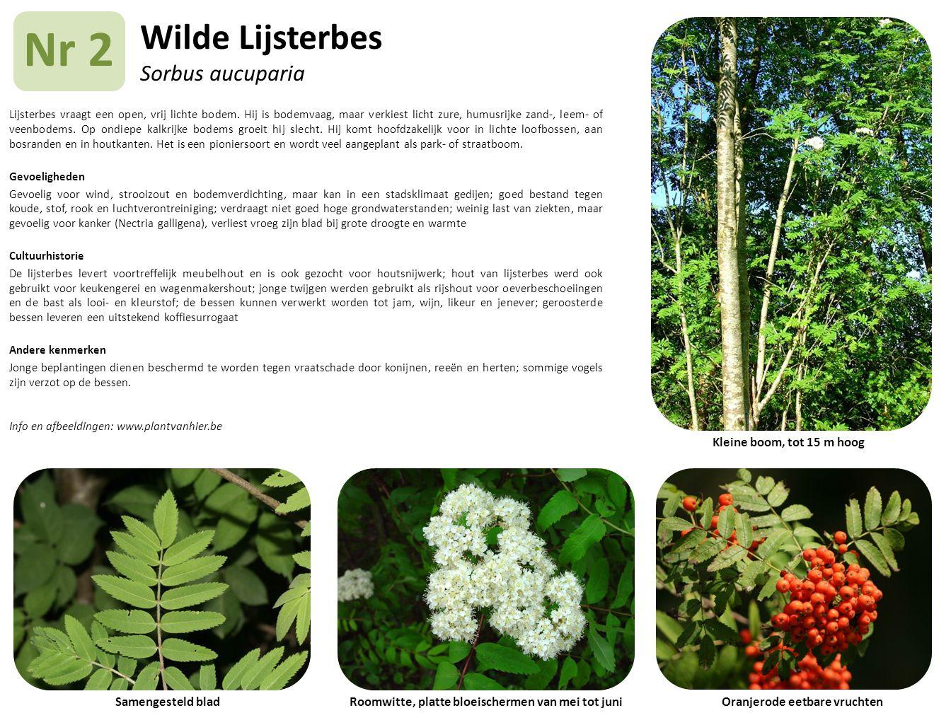 Wilde Lijsterbes Sorbus aucuparia