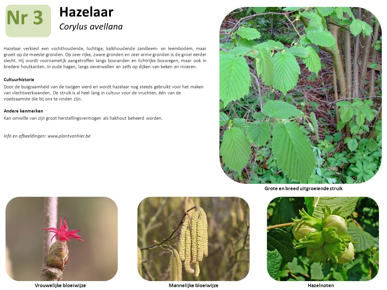 Hazelaar Corylus avellana