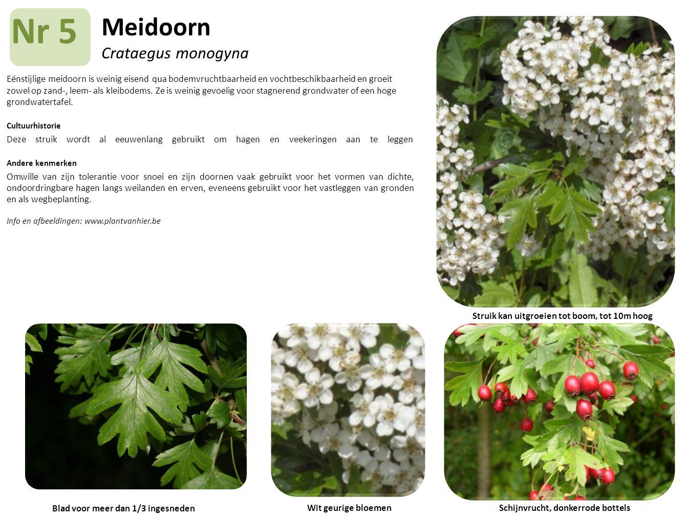 Meidoorn Crataegus monogyna