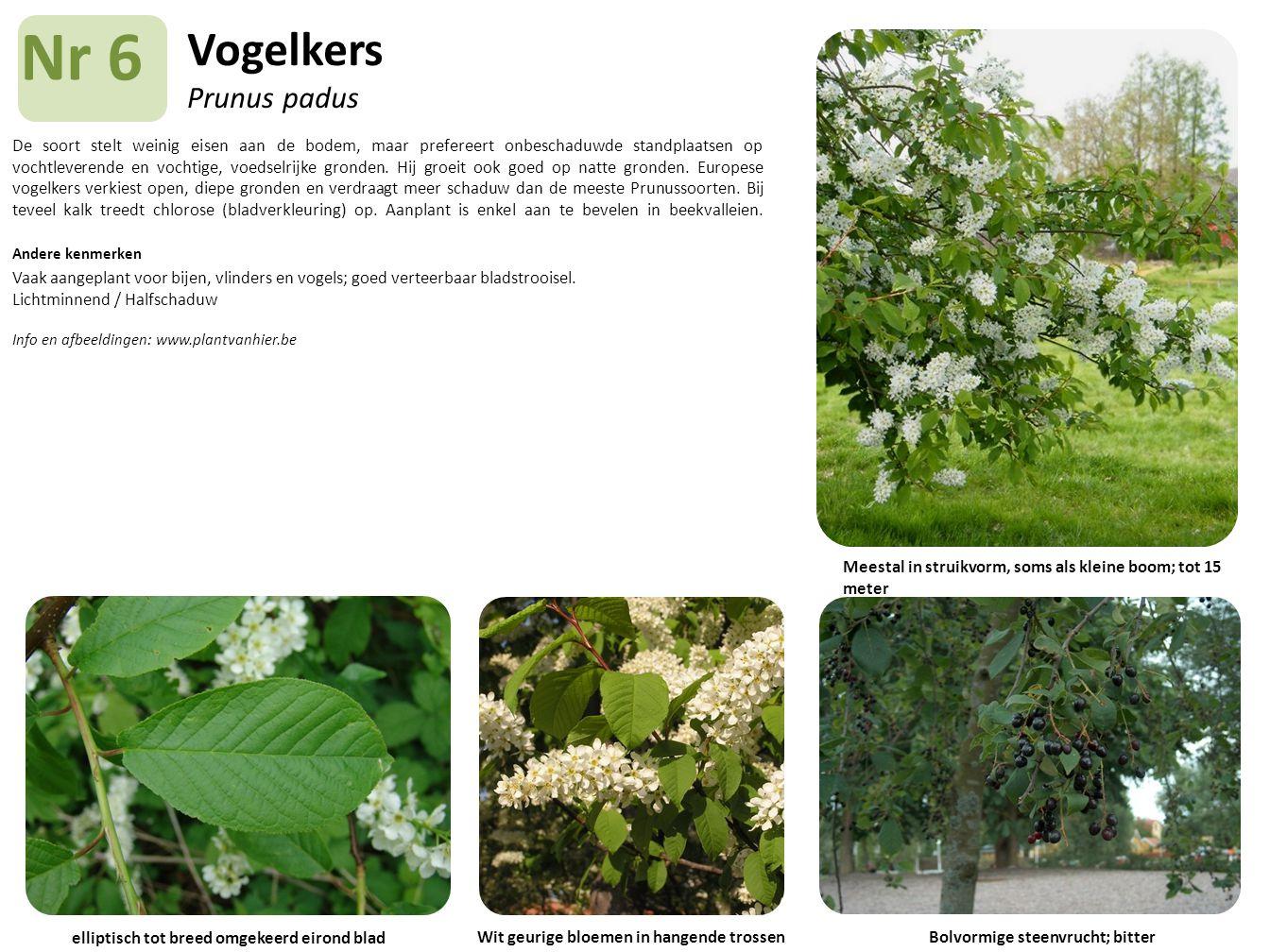 Vogelkers Prunus padus