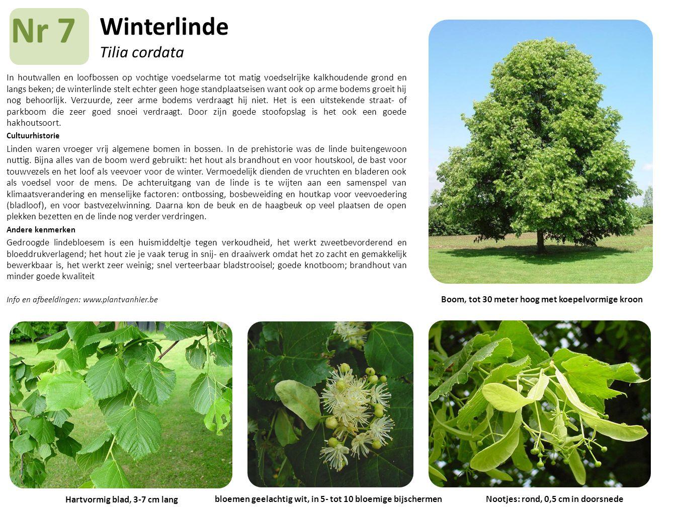 Winterlinde Tilia cordata