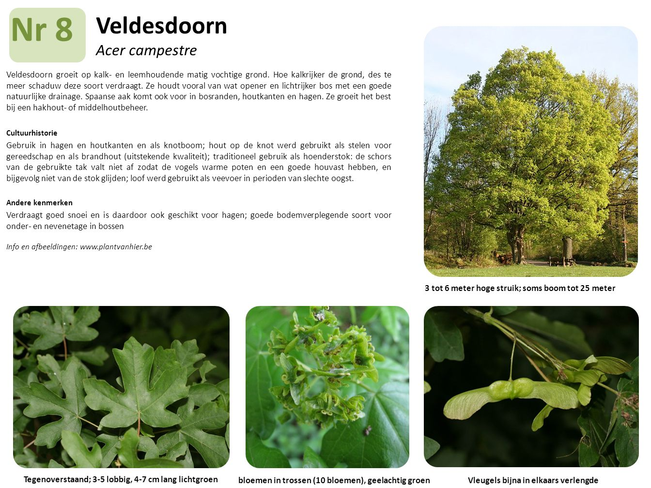 Veldesdoorn Acer campestre