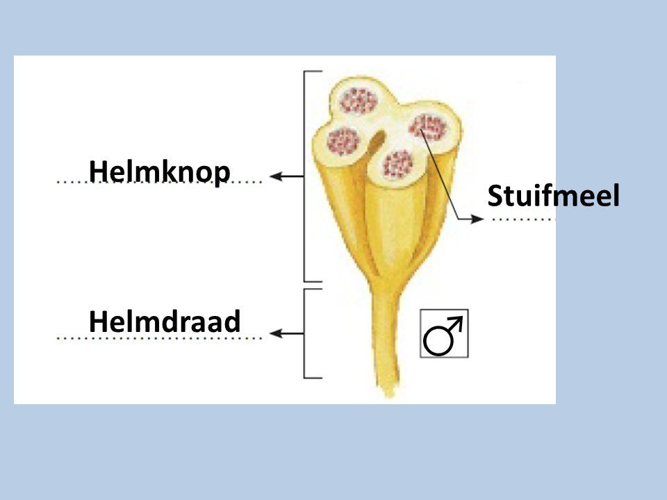 Helmknop Stuifmeel Helmdraad