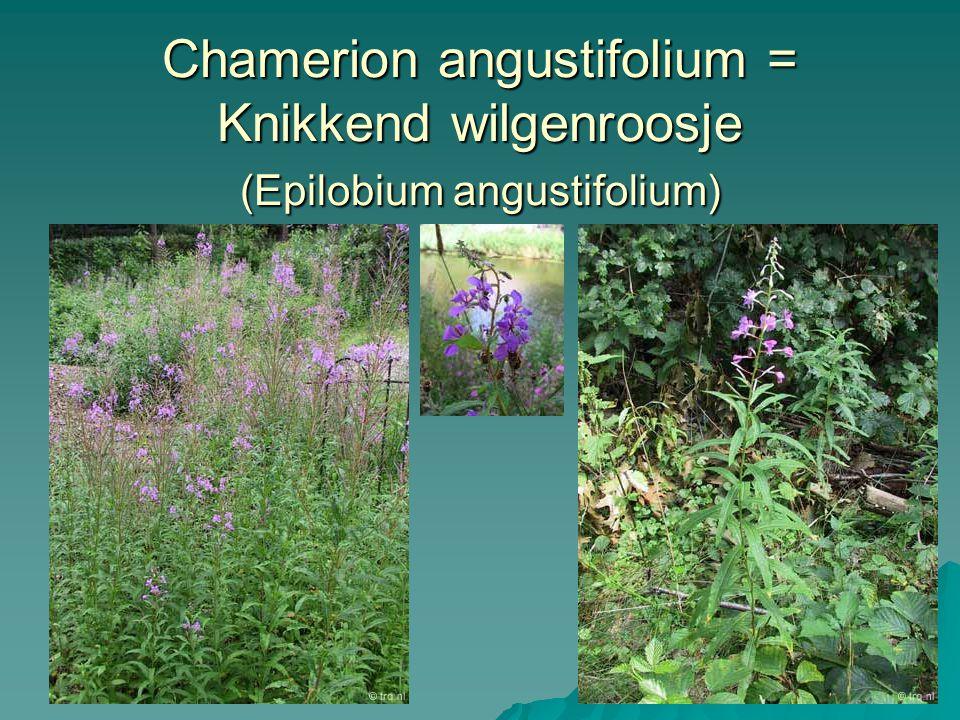 Chamerion angustifolium = Knikkend wilgenroosje (Epilobium angustifolium)