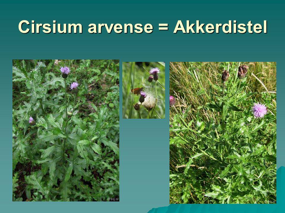 Cirsium arvense = Akkerdistel