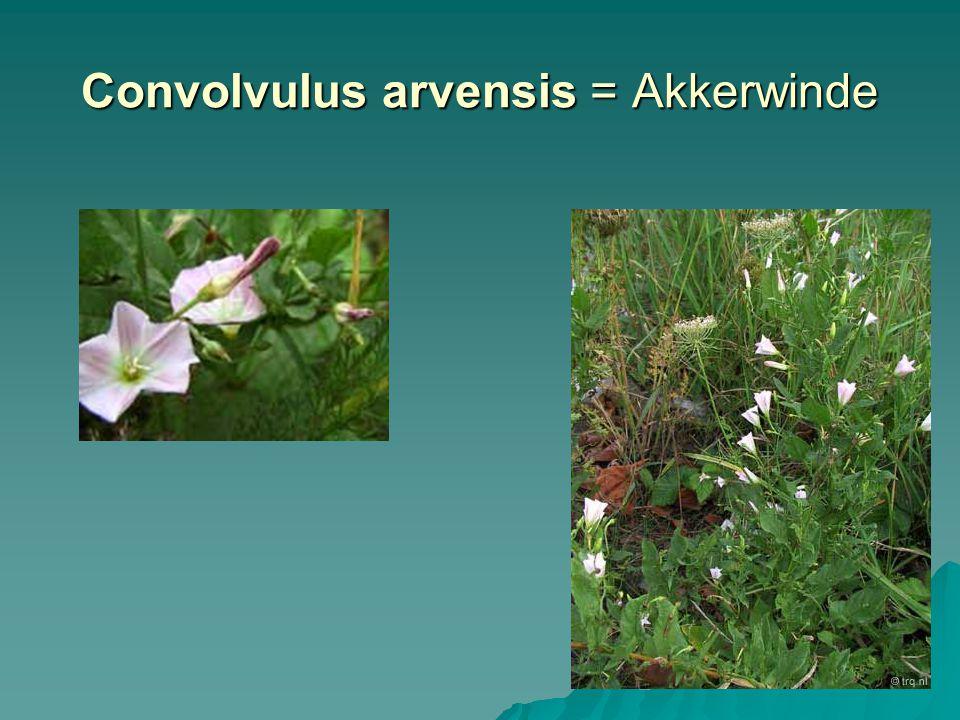 Convolvulus arvensis = Akkerwinde