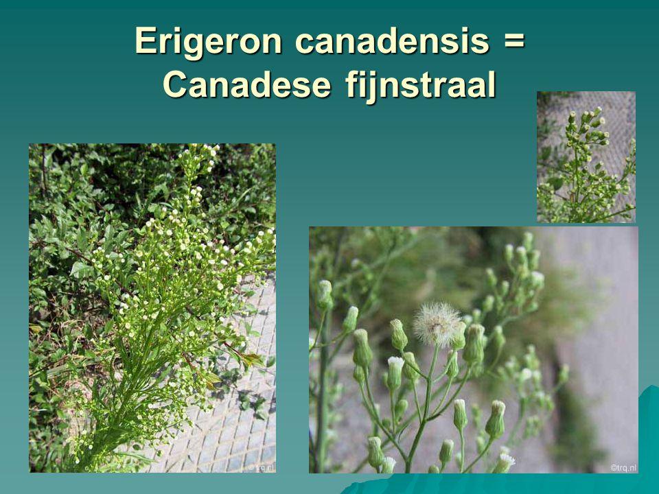 Erigeron canadensis = Canadese fijnstraal