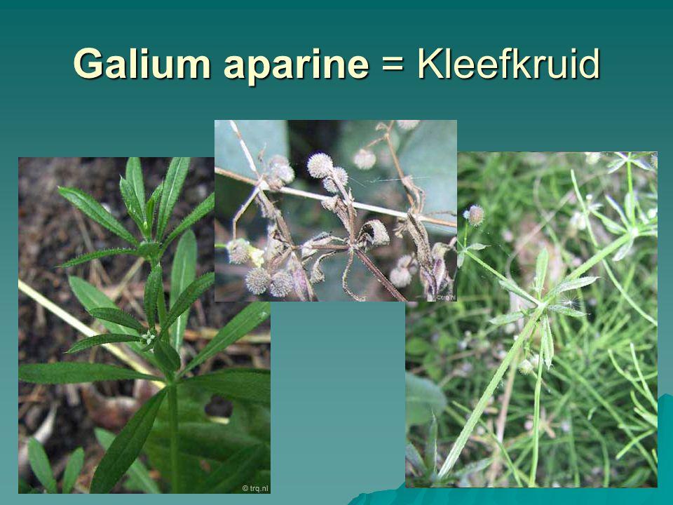 Galium aparine = Kleefkruid