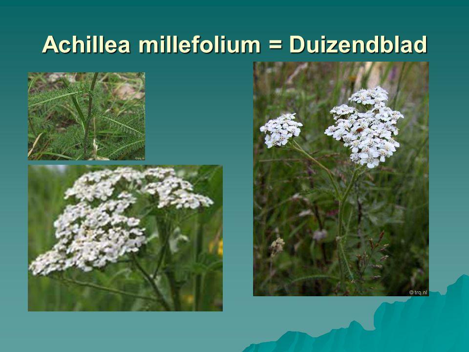Achillea millefolium = Duizendblad