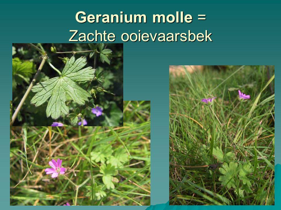 Geranium molle = Zachte ooievaarsbek
