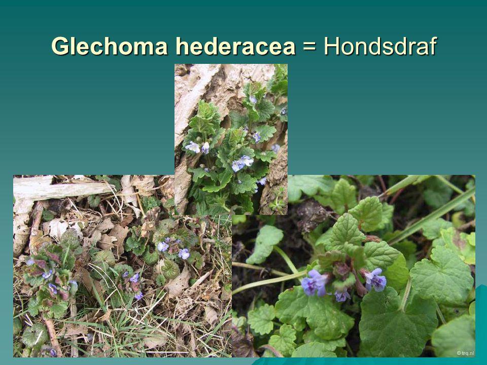 Glechoma hederacea = Hondsdraf