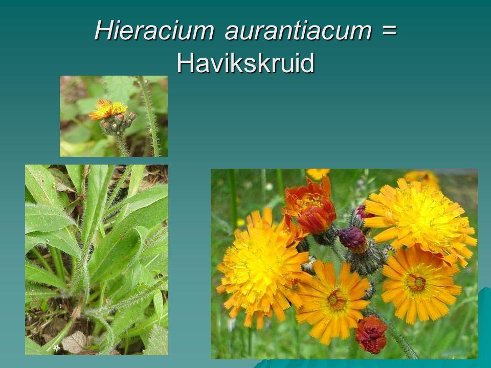 Hieracium aurantiacum = Havikskruid