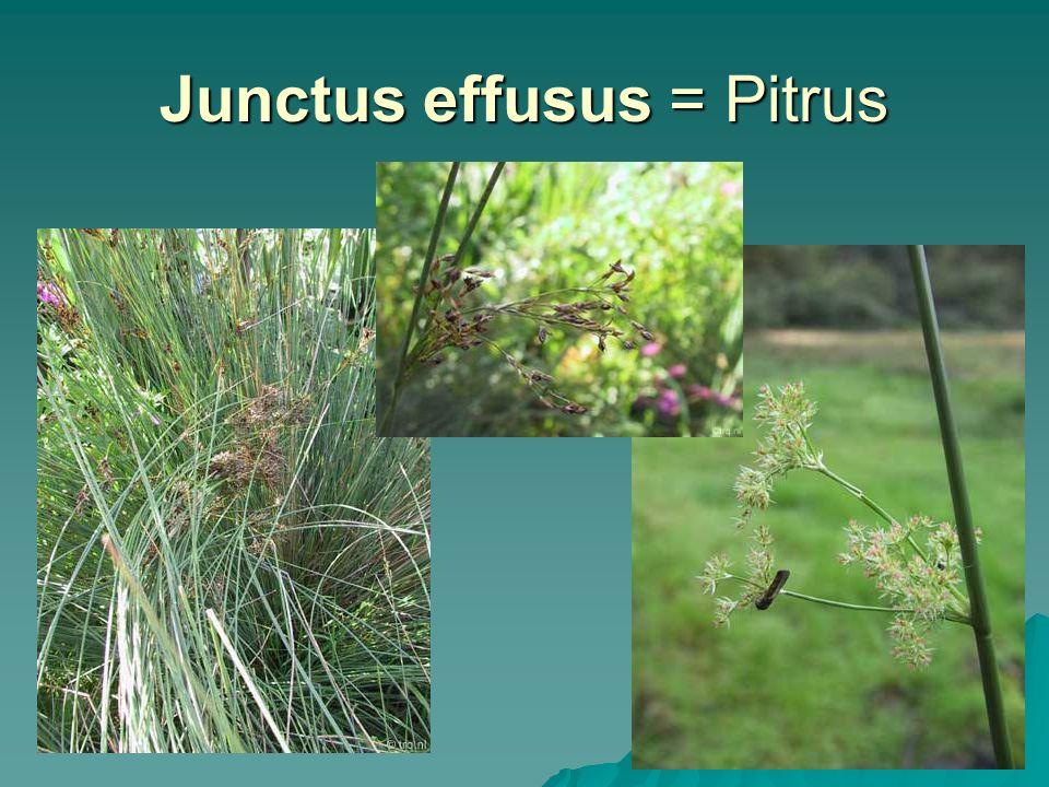 Junctus effusus = Pitrus