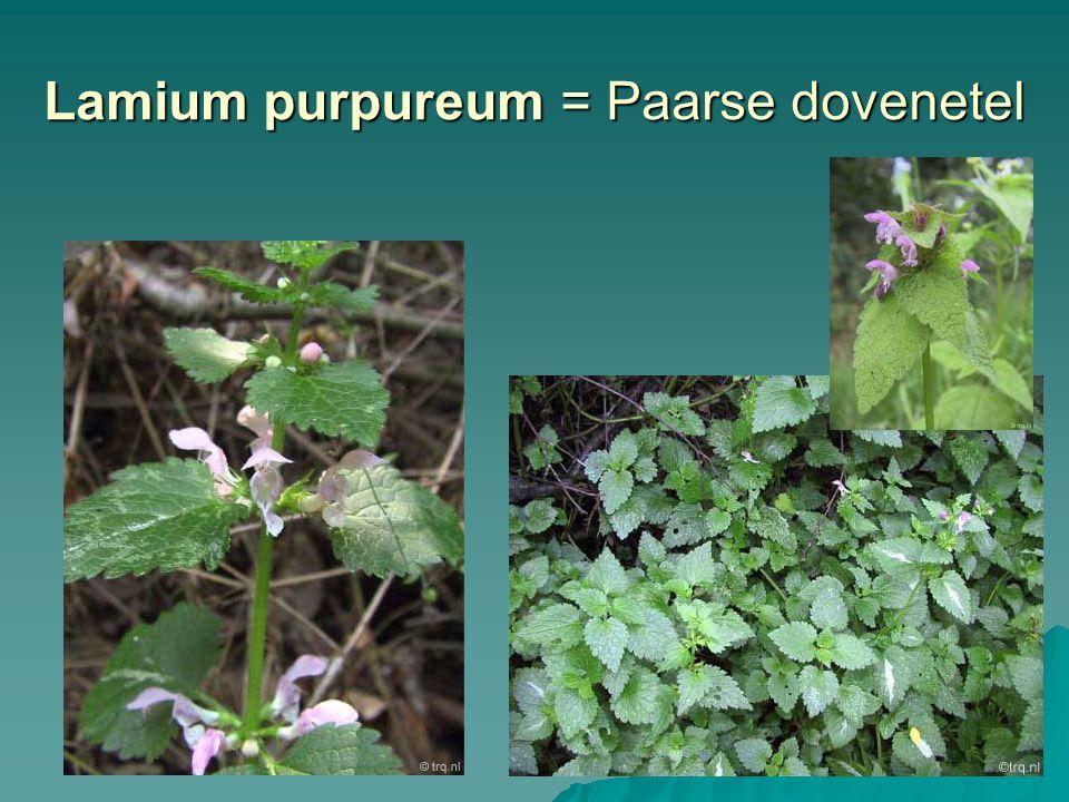 Lamium purpureum = Paarse dovenetel