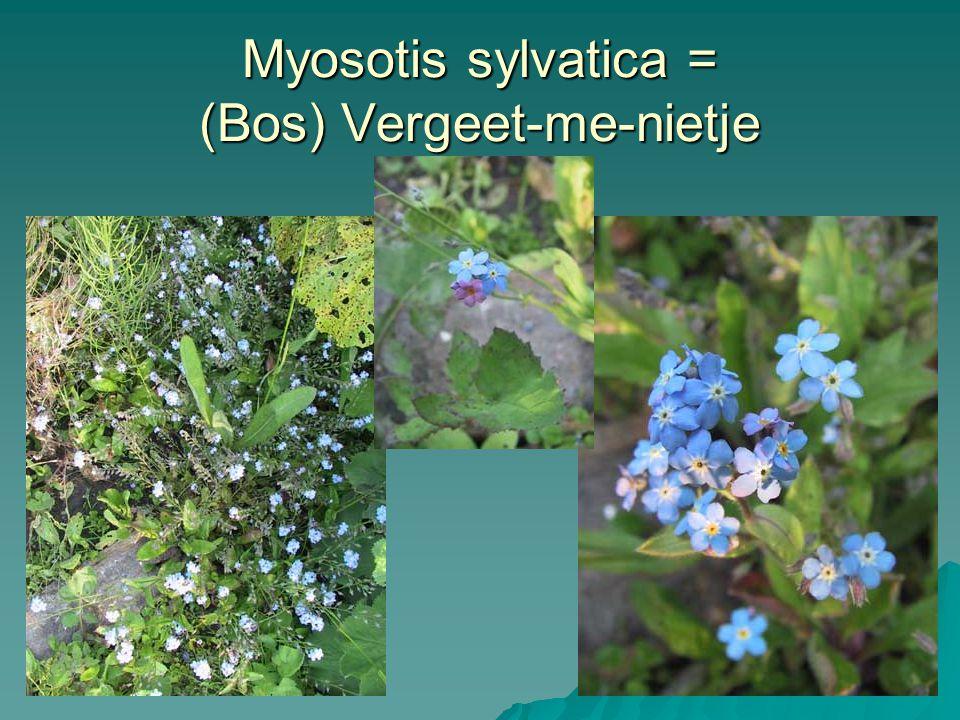 Myosotis sylvatica = (Bos) Vergeet-me-nietje