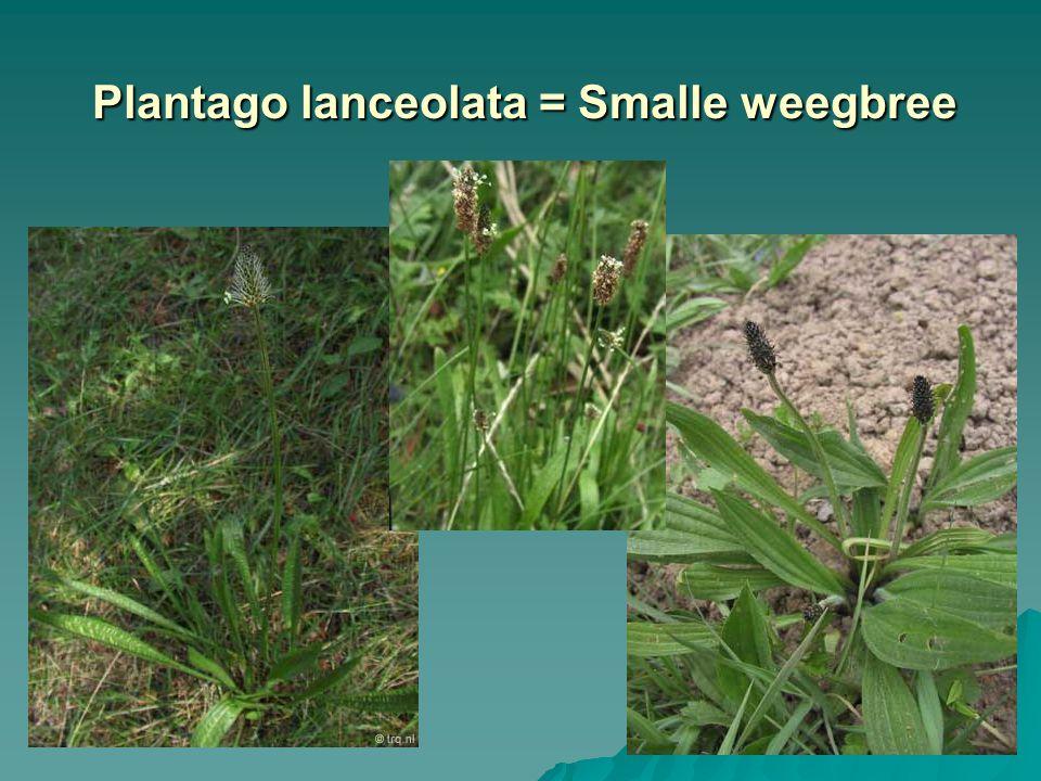 Plantago lanceolata = Smalle weegbree