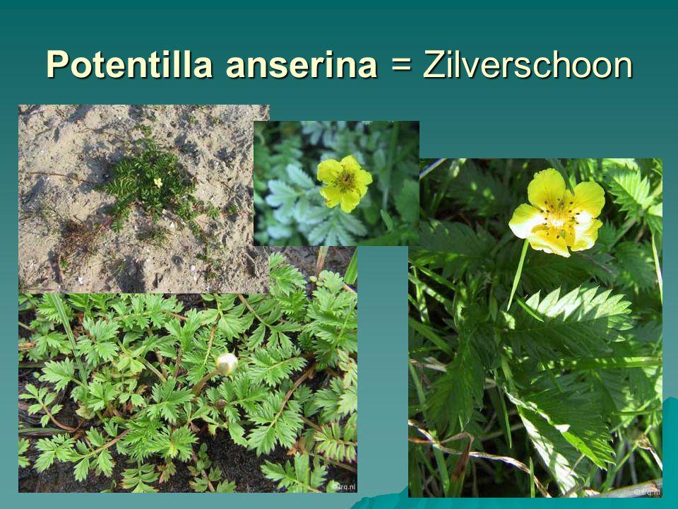 Potentilla anserina = Zilverschoon