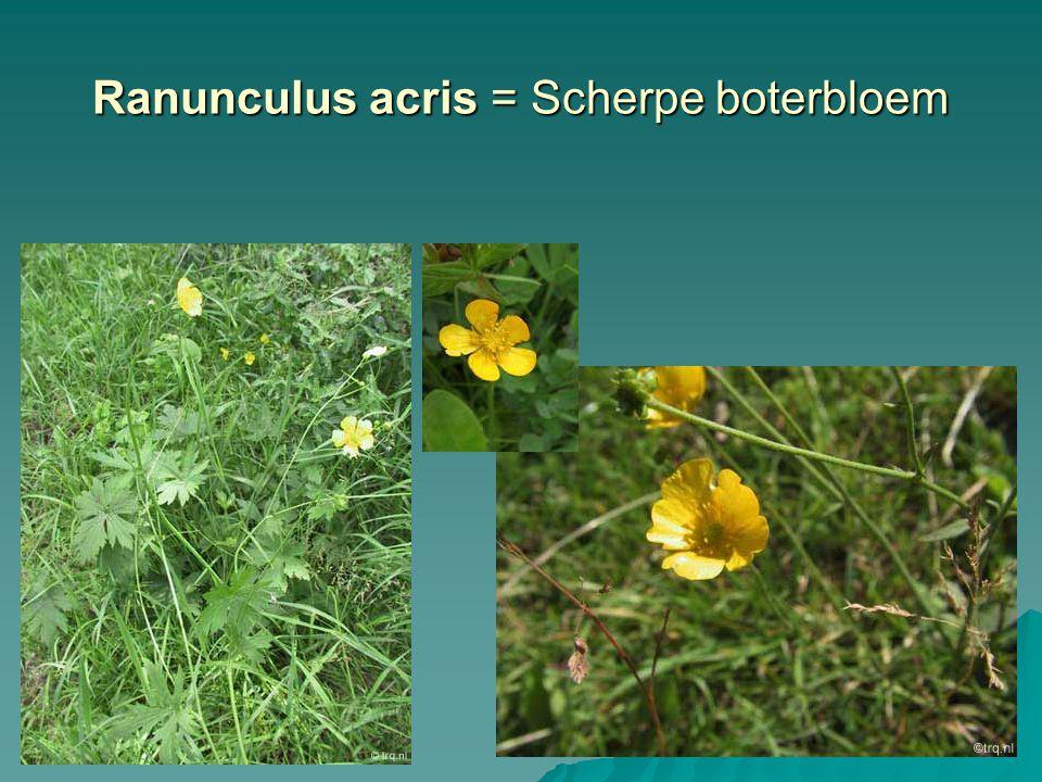 Ranunculus acris = Scherpe boterbloem