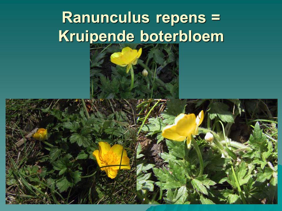 Ranunculus repens = Kruipende boterbloem