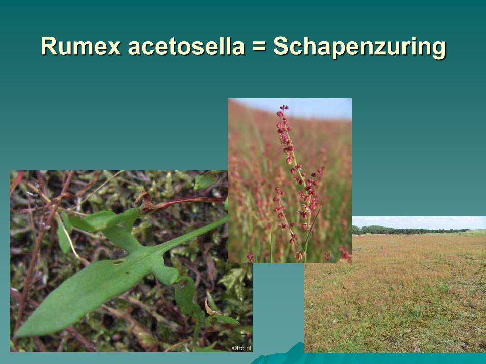 Rumex acetosella = Schapenzuring