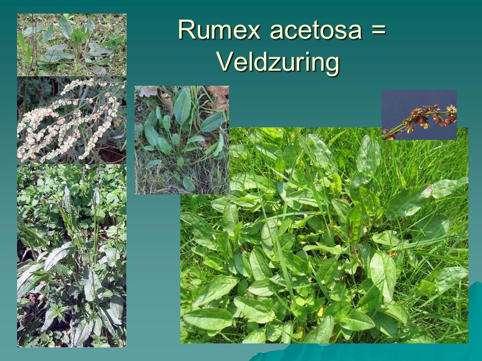 Rumex acetosa = Veldzuring