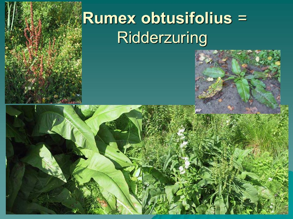 Rumex obtusifolius = Ridderzuring