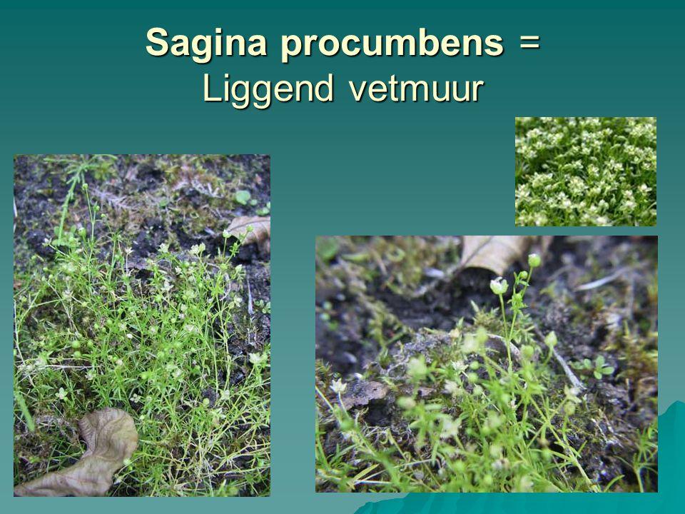 Sagina procumbens = Liggend vetmuur