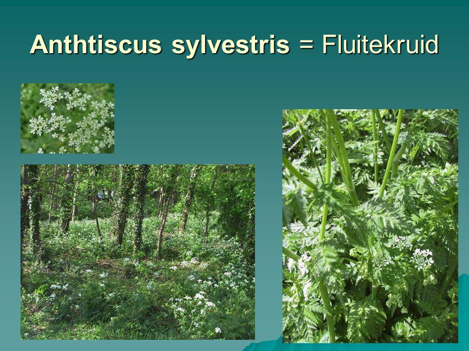 Anthtiscus sylvestris = Fluitekruid
