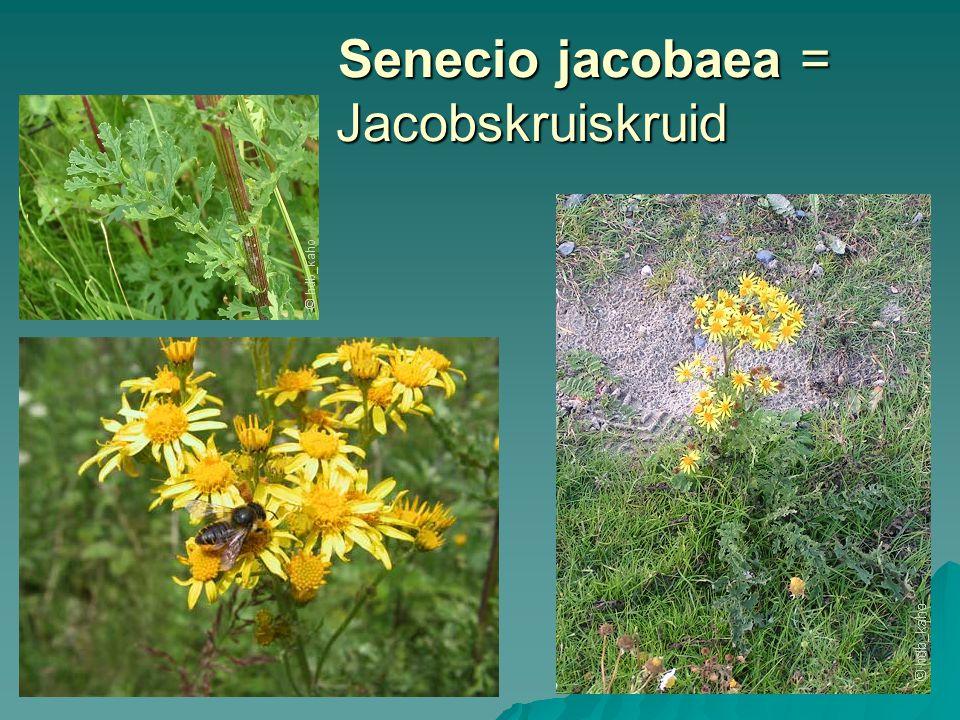 Senecio jacobaea = Jacobskruiskruid