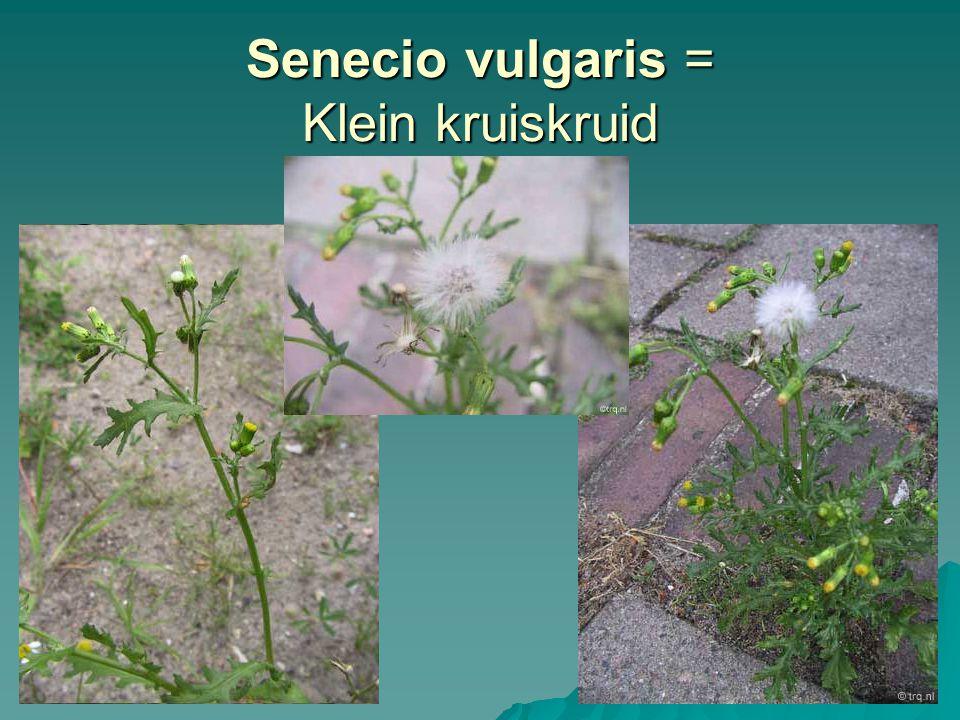 Senecio vulgaris = Klein kruiskruid
