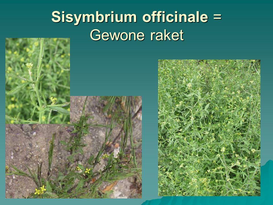 Sisymbrium officinale = Gewone raket