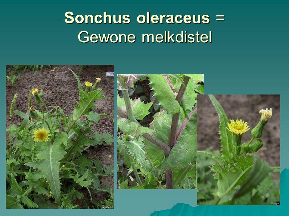 Sonchus oleraceus = Gewone melkdistel