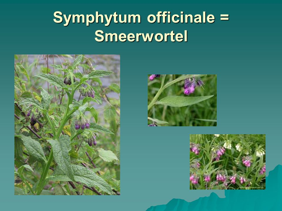 Symphytum officinale = Smeerwortel