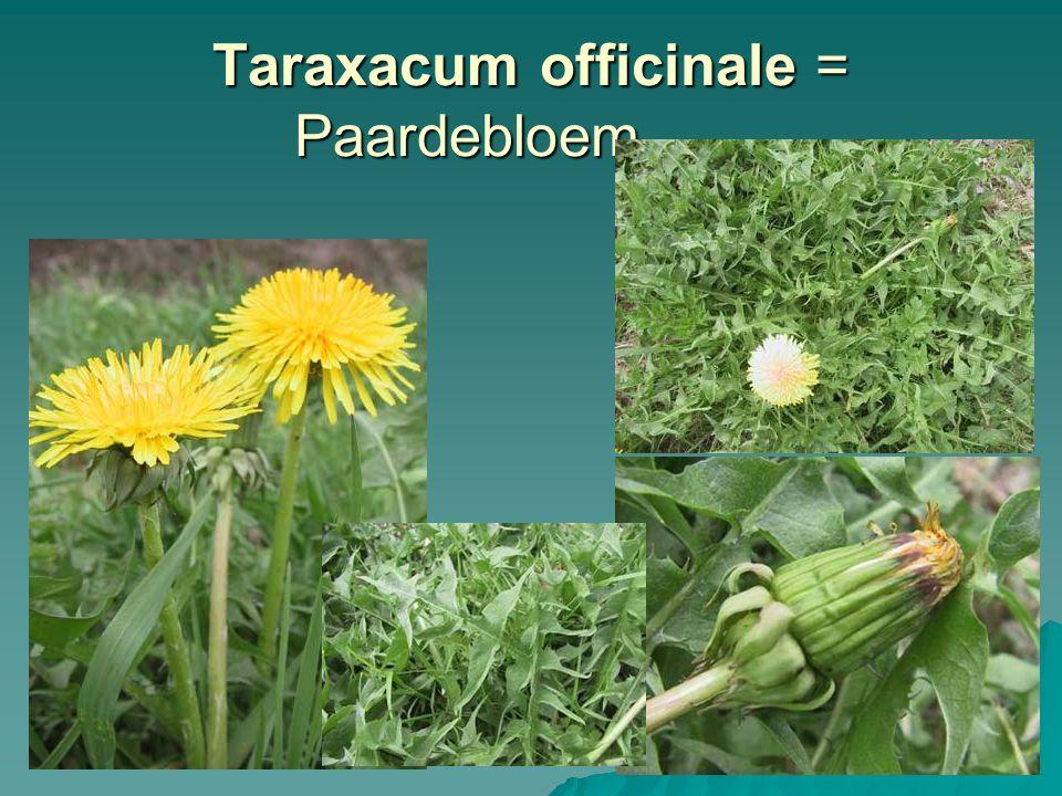 Taraxacum officinale = Paardebloem
