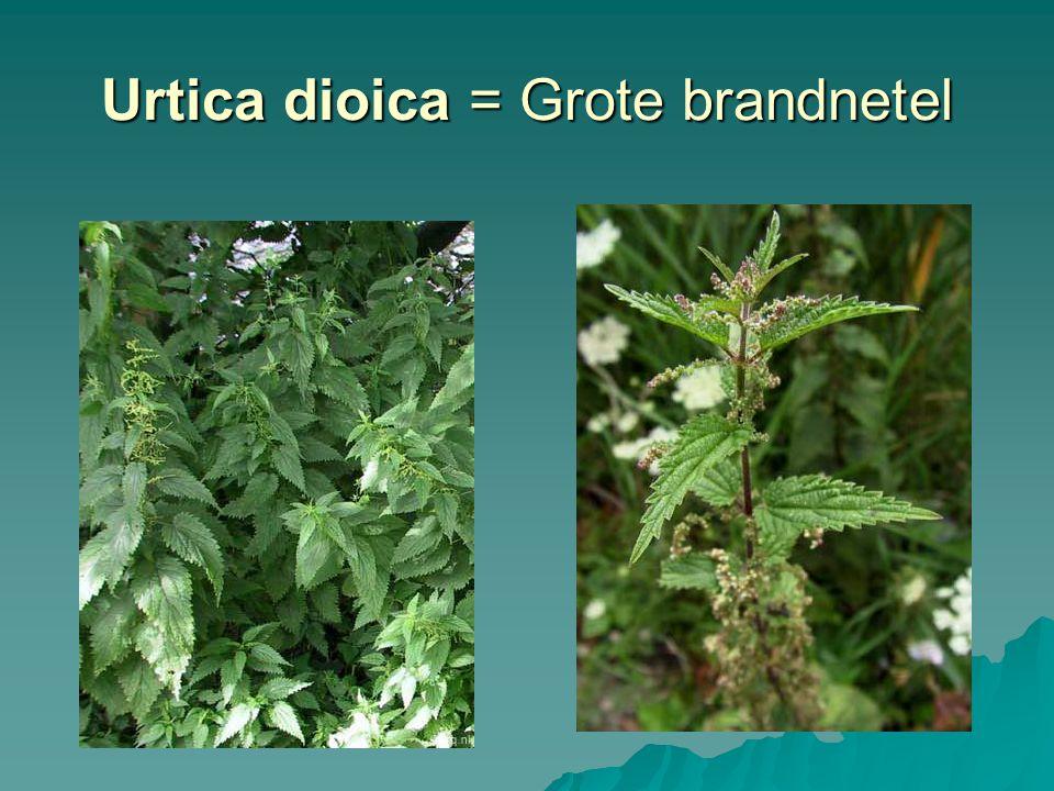 Urtica dioica = Grote brandnetel