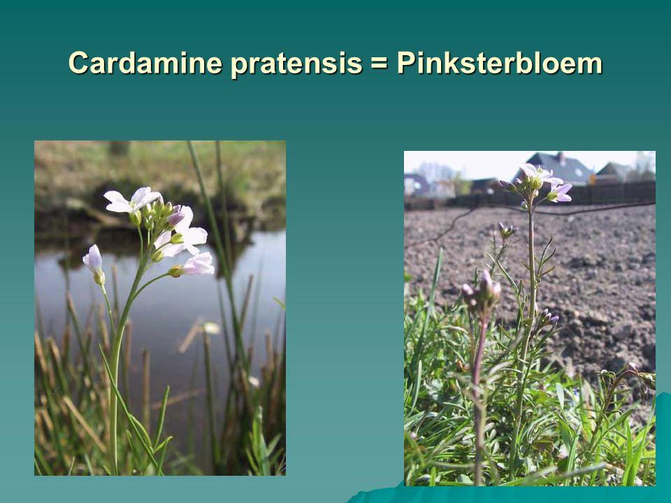 Cardamine pratensis = Pinksterbloem