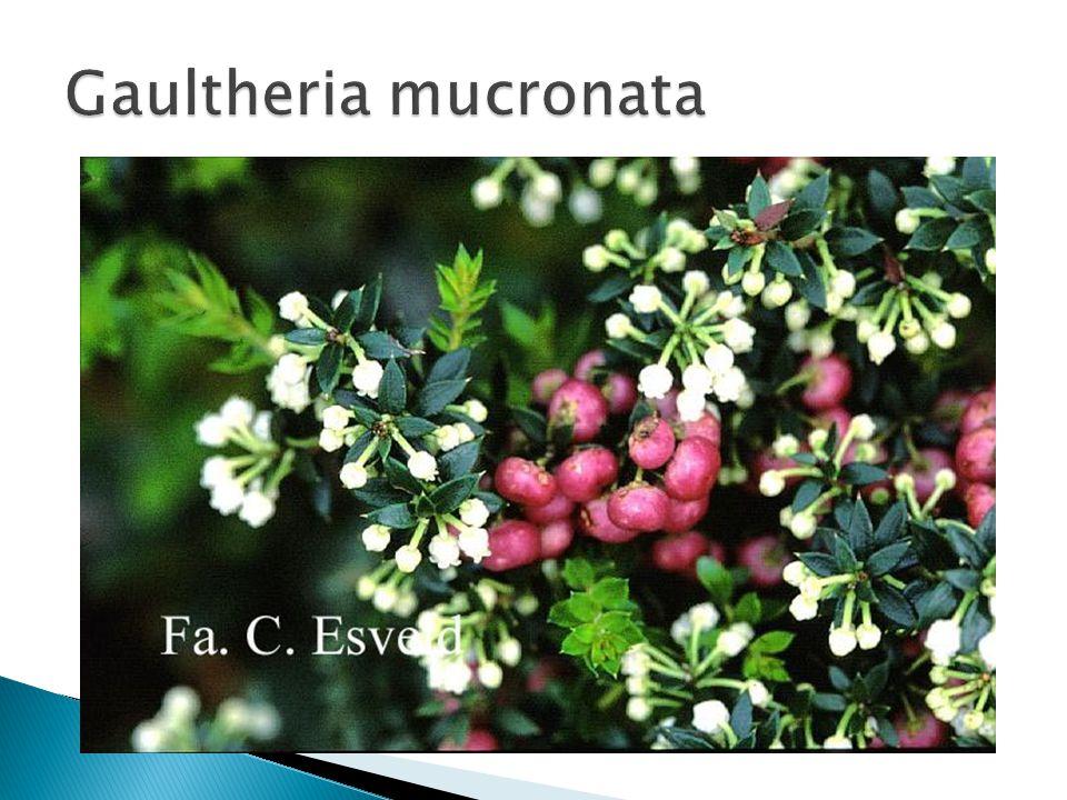 Gaultheria mucronata Grondsoort: Zuur tot zwak zuur