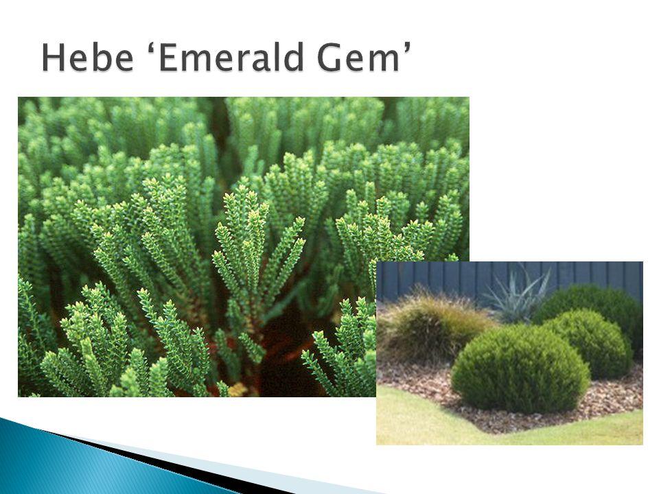 Hebe 'Emerald Gem' Grondsoort: goed doorlatende grond