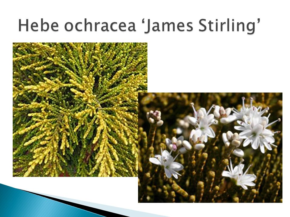 Hebe ochracea 'James Stirling'