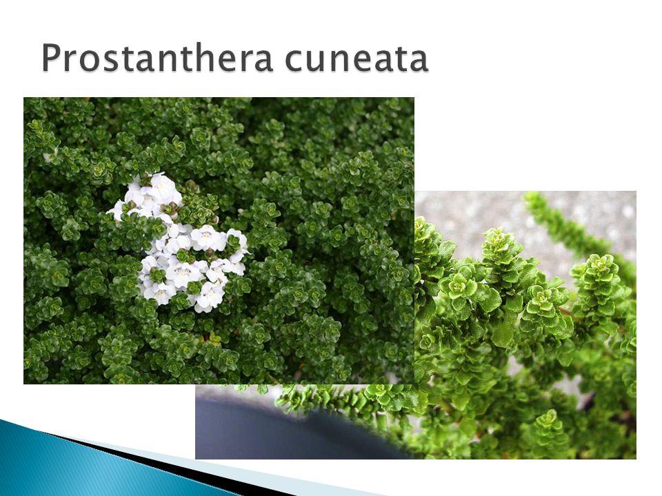 Prostanthera cuneata Grondsoort: gedraineerde grond.