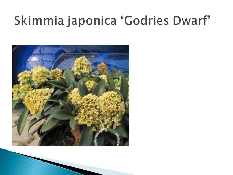 Skimmia japonica 'Godries Dwarf'