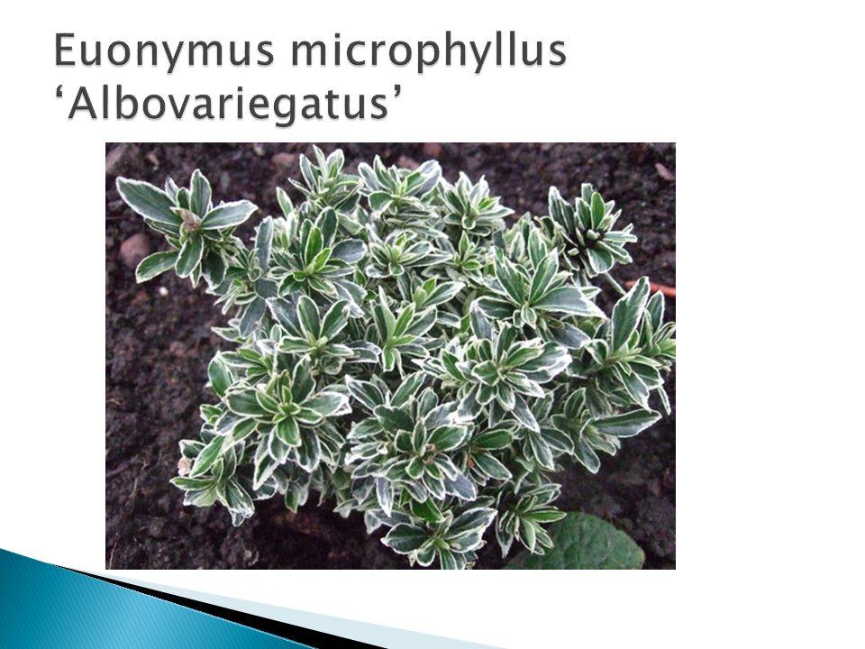 Euonymus microphyllus 'Albovariegatus'