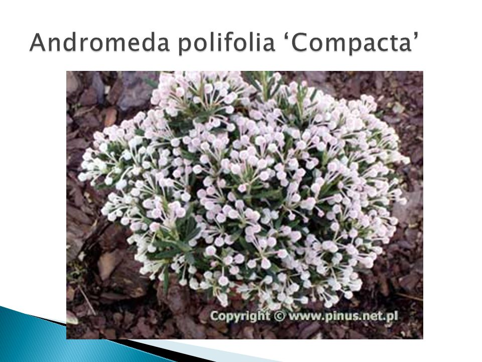 Andromeda polifolia 'Compacta'