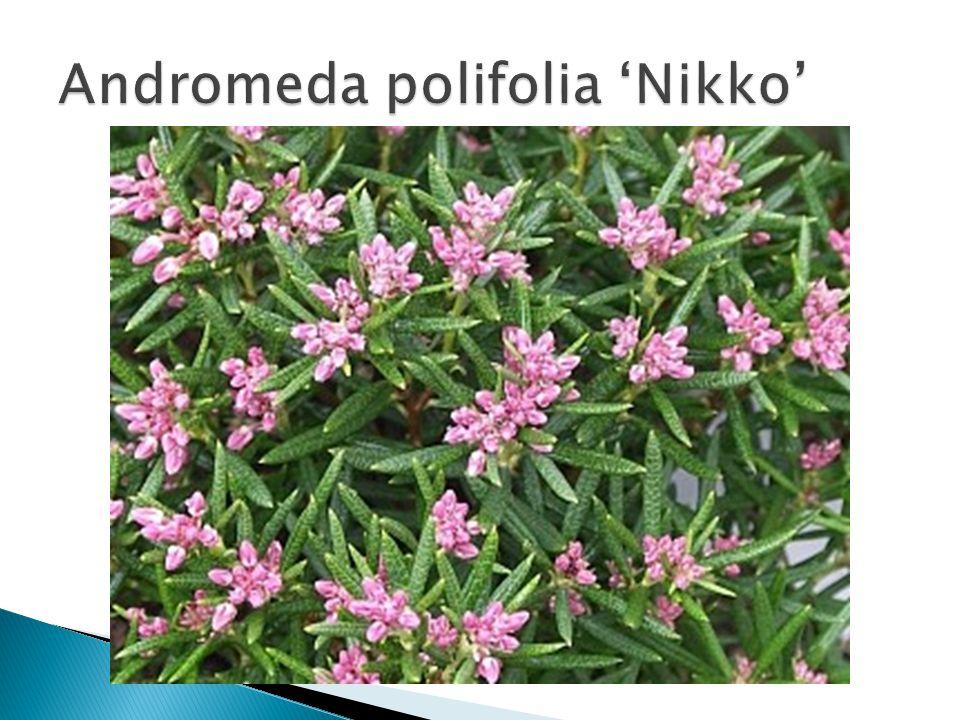 Andromeda polifolia 'Nikko'