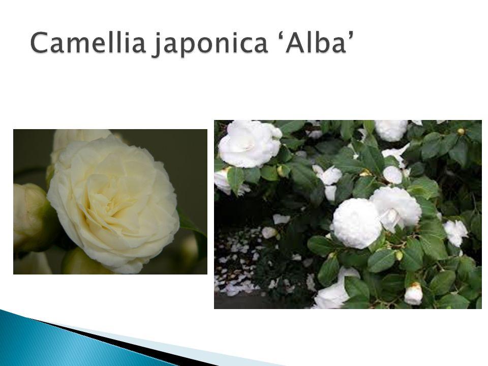 Camellia japonica 'Alba'