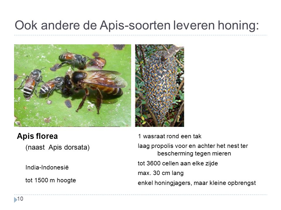 Ook andere de Apis-soorten leveren honing: