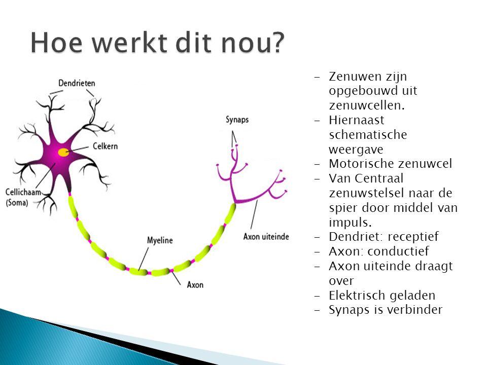 Hoe werkt dit nou Zenuwen zijn opgebouwd uit zenuwcellen.