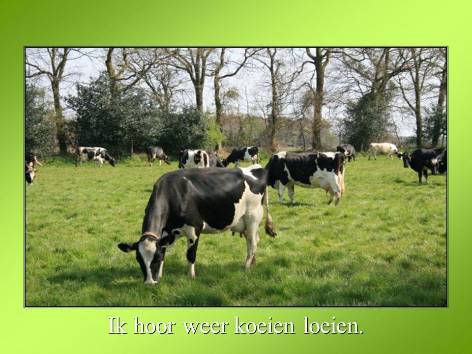 Ik hoor weer koeien loeien.