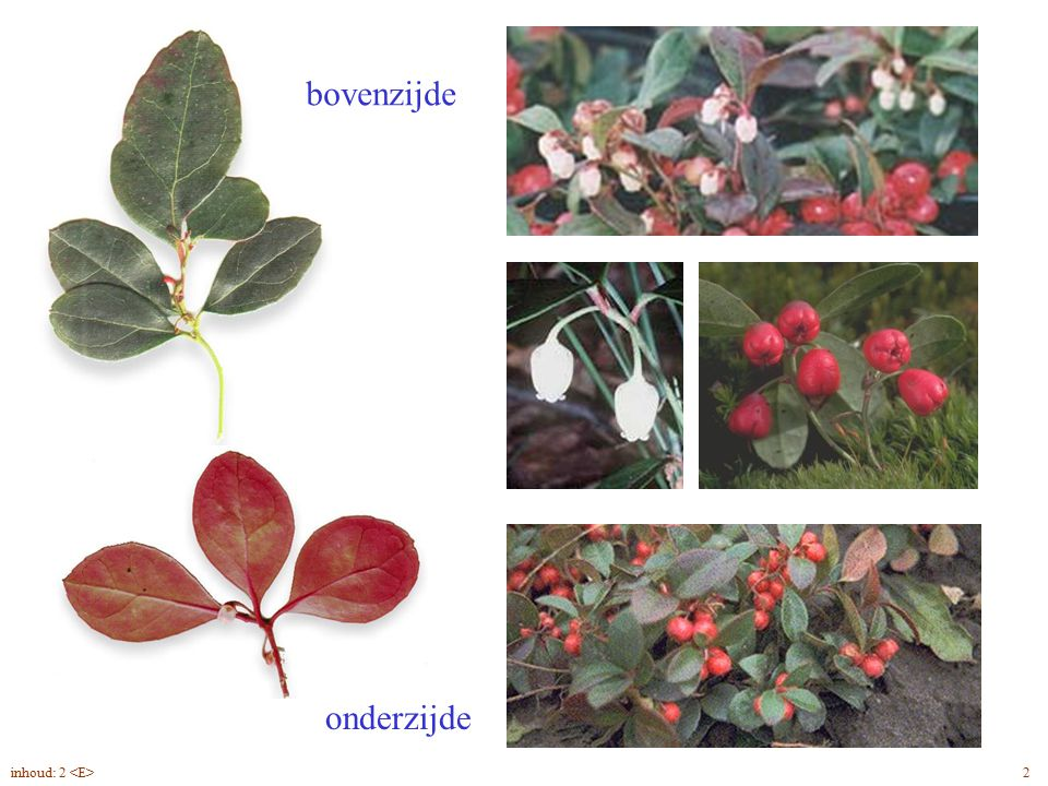 Gaultheria pr. blad, bloem, vrucht