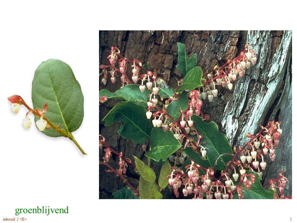 Gaultheria shallon blad, bloei